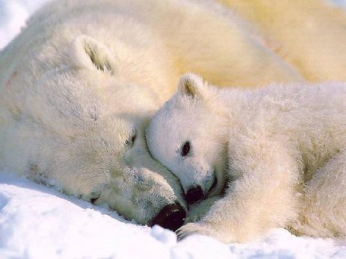 PolarBearsSnuggle