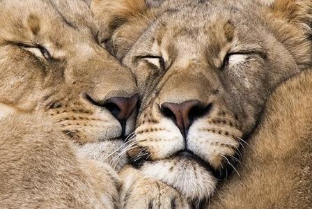 Two lions snug