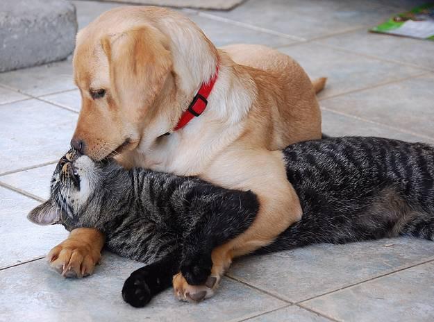 Yellow Lab hugging cat