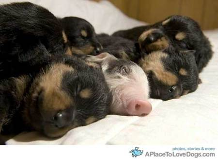 baby pig joins puppies