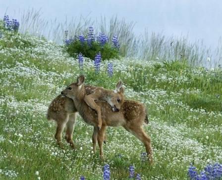 two baby deer hugging