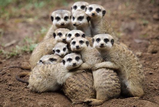 meerkats hugging
