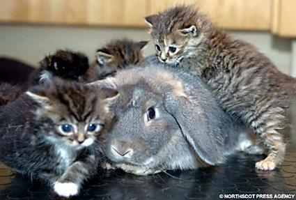 Kitten on top of rabbit