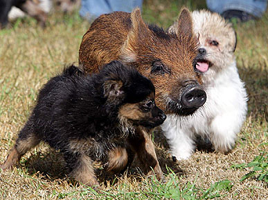 dogs_pig