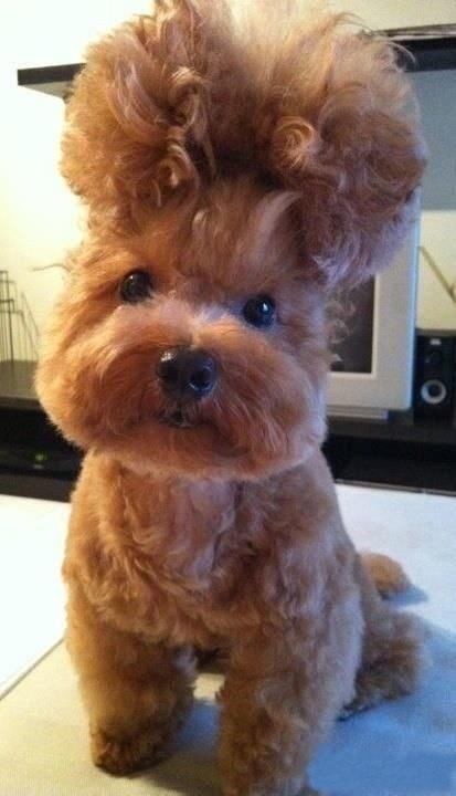 dog_hairdo