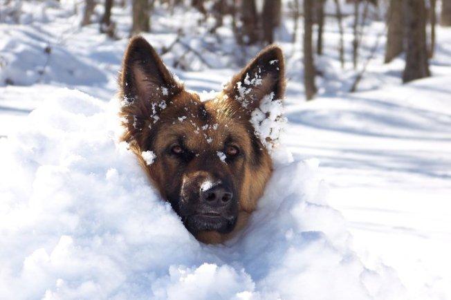 german shepard in snow