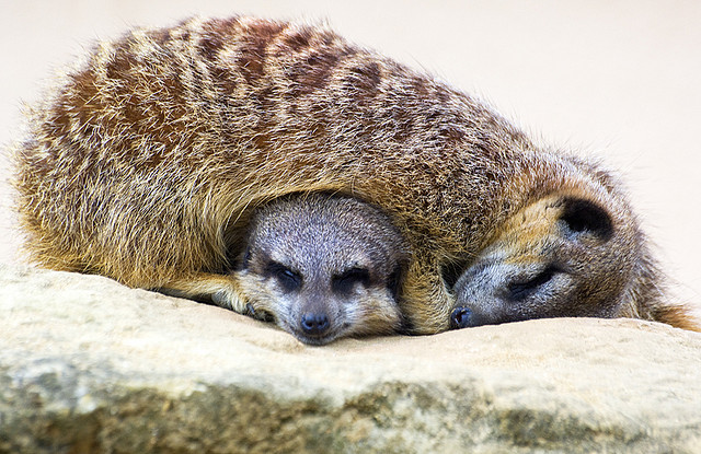 snuggle up meercats